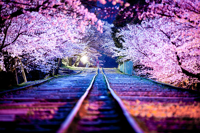 cherry-blossom-sakura-coverimage