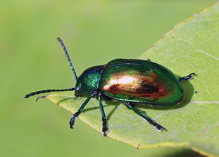 dogbane-beetle10-10